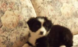 BORDER COLLIE PUPS These pups need a new home, the first two pics are females and the thirds one is a male. Call Darwin at 403-363-2727