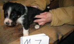 From working parents. Born in MT. Cattle & sheep dogs. Will deliver to Camrose area mid Jan any sold here.