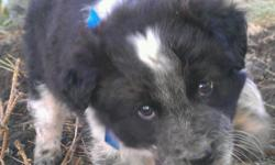 Sprocket Weejee Tinsley Kenna Dreamie   beautiful smart collie x heeler pups.full of energy and love a good cuddle. they cant wait for their second chance at a great life. they were rescued and saved from being shot. would make a lovely addition to a home