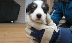 Border Collie pup born October 14, 2011. $700.oo From Registered parents. for more info and more pictures and video and to see registration of parents please email or call. Pup will be micro-chipped and vaccinated and de-wormed. Includes Purina Puppy pack