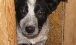 We have one female border collie cross pup that is the last of a litter waiting to be placed in a home. She is extremely friendly and loves people. If you are interested please contact by phone.