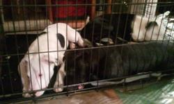 3 Beautiful Males left...each with unique markings....housebroken, dewormed, healthy, happy, socialized, great with adults, children and other animals.....please call or text 604-819-7990
