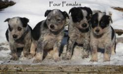 Our beautiful Border Collie has done it again! She has ten gorgeous puppies that will be gone fast (her last litter sold extremely fast)! These puppies have been lovingly raised out here on our farm setting. The Mom has free range of the farm and she