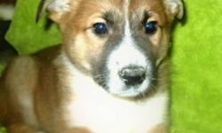 Border collie x puppies that are a mix consisting of border collie and collie. Very well socialized. Will mature to approx.  meduim sized full grown. Dewormed. Male and female are available. Delivery available depending on where you live. If you are