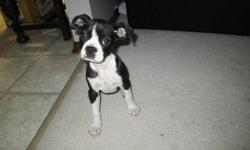 Very cute and loveable Boston Terrier mix female. She is a very happy and spunky little pup. She has been started on house training and doing great. She has also been crate trained. Well socialized and is great with kids, dogs and cats. This pup has her
