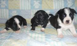 All females available, Born August, 23, 2011, Will be super kind natured dogs, Email or phone for more info, when pups ready will have first shot de-wormed, 1 250 337 8259
