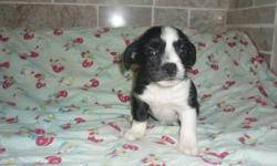One little female pup, has first shot de-wormed ready for her new loving home Email or phone calls welcome, thanks 1 250 337 5254 born August 23 2011