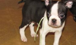 Just one male puppy left he is a beautiful chocolate and white. He has been raised with children and other dogs. He will go to new home with 1st vaccination de-wormed and loved by many. He will also have a small blanket and toy with familiar smells and a