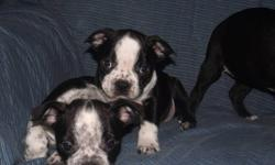 BUGG PUPPIES   Beautiful Boston Terrier / Pug puppies Mother is a purebred Pug Father is a purebred Boston Terrier 3 Males and 4 Females available Gentle natured, fun loving puppies Vet health checked, 1st shots, and de-wormed Ready for their loving