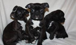 AVAILABLE NOW ! boston terrier pug puppies ,they come with their vet records ,they have been dewormed 3 tims ,they are on solid foods and are ready to be loved by their new owners ,,I have 1 possibly left if interested please e-mail me your number and I