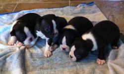 Hi, we have four girls and three boys. The puppies will come with there first shots and de-worming. The parents are on site. The last two pictures are of the parents. Email to set up a viewing time. Thanks