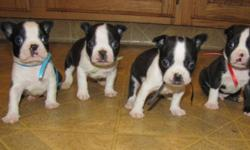 There are 4 males and available to choose from in two litters. Puppies are raised with children and other dogs. They will go to new homes with 1st vaccination de-wormed and loved by many. A deposit of $150 will hold the puppy of your choice until they are