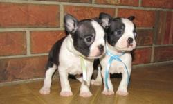 Ready in time for Christmas there are just 2 males left in this litter. Puppies are raised with children and other dogs. They will go to new homes with 1st vaccination de-wormed and loved by many. A deposit of $150 will hold the puppy of your choice until