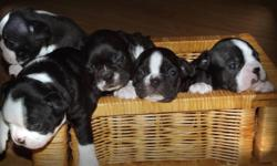 We have 5 Beautiful Boston Terrier Puppies. 2 Female and 3 Males. We are now taking deposits. We are asking $650.00. If any questions or to view the puppies. Please call 613-358-5955 or (text only) 613-867-6617. Please DO NOT email. Thanks