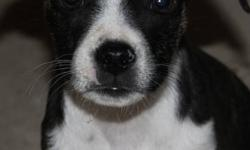 Bostonoodle Puppies (Boston Terrier x Toy Poodle Puppies) First vaccination and dewormed 2x HEALTH GUARANTEE Mom is a pure bred Boston Terrier and Dad is a pure bred Toy Poodle ONLY 1 female available These puppies have sweet personalities and would make