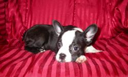 For sale 2 Boston terrier pups there is  2 females they are all black and white - They are very friendly with children -Have been intergrated with other dogs-Highly inteligent-Have had there first set of needles-Been De Wormed twice-Comes with health
