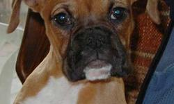 WILDTHYME BOXERS  has puppies ready to go now. all are 100% health guaranteed and in process of registration in CKC.  Delivery full or part way can be arranged for gas!  Long time breeders over 30 years experience will support you in your relationship