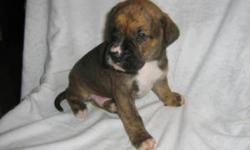 Christmas special i Have 4 Boxer mix puppys ready to find a new home for christmas. If your thinking about getting one please call me. or email me. Thnaks. Ps. first come, first serve.