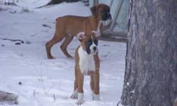 Both parents 100% boxer. Paper trained and have begun house training. First and second shots, vet checked and dewormer, tails docked, dew claws removed. 12 weeks old. Raised with love and lots of attention. They enjoy play time outside and frolicking in