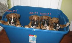 Boxer puppies for sale. 2 male, 2 female. Pups come with tails docked, first shots, vet checked and ONE YEAR HEALTH GUARANTEE!!. Mom is a reverse brindle boxer and Dad is a fawn boxer. Both live with us, are up to date on all shots, very healthy and are