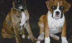 """CKC registered Flashy Fawn male & Brindle Female. Also may be AKC registered. Have both parents on site for viewing. Sire 60lb. 24"""", Dam 21.5"""" 60lb. Home raised with other dogs,cats & children. Well socialized. CKC registered breeder. Vet checked, dew"""