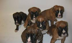 Boxer puppies for sale. 2 male 2 females. All fawn. First pic is a male and very last pic. Next 2 are female. Come with tails docked, first shots, vet checked and one year health guarantee. Mom is a reverse brindle boxer and Dad is a fawn boxer. Both live