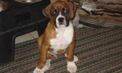 Purbred boxer puppies for sale.  Male flashy fawn, white female with one blue eye and white female with brindle patch over her left ear.  Puppies have had dewclaws removed, tails docked, first shots and deworming.  Pups are raised in our home as members