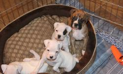 Boxer puppies for sale- 3 left- 1 male, 2 Females Born September 25th. Ready to go! Tails docked, dew claws removed and all shots up to date. $800.00 each Call Eric at 780-832-5624 for more information or to meet the puppies!