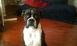 Fawn & Brindle Boxer puppies Mother is a Brindle Father is A Fawn. Mother can be seen with puppies & Have lots of picks of Father, I also have a 6 month old pup thats bigger than my 2 year old from one of the fathers litters he looks like a twin to the