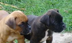 Three adorable male pure bred boxer puppies for sale. Looking for a loving home. Puppies are ready to go now.  Tails have been cropped and du-claws have been removed. Puppies have had their first set of shots and have been de-wormed. If interested please