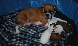 6 healthy pure bred boxer puppies. 4 gorgeous females and 2 handsome males. There are 3 fawn and white, 2 white with fawn and one special solid white girl. Mother is a registered female and Father is a reversal white with fawn spots. Both parents can be