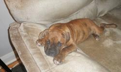 ONE ADORABLE MALE PURE BRED BOXER PUPPY LOOKING FOR A GOOD HOME. LAST PUPPY LEFT OUT OF A LITTER OF SEVEN. HE IS LIGHT BRINDLE, IS 13 WEEKS OLD AND READY TO GO NOW. HE HAS BEEN DEWORMED, HAS HAD HIS FIRST SET OF SHOTS, TAIL HAS BEEN CROPPED AND DU-CLAWS