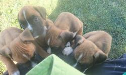 i have a littler of fawn boxer pups 3 boys 3 girls all have their tails docked and dew claws removed no heath issues they need new loving homes this is our 2nd litter with the same dad hes 100 lb dark brindle let me no if ur interested and we will set up