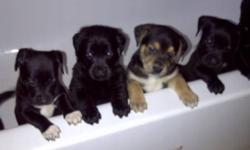 Amazing beautiful puppies, home raised, very kid friendly. Mom and Dad on site. Mom is Boxer, Dad is Golden Retriever. Both parents are very friendly, know many tricks (sit, laydown, sleep, high five, gimmie ten, jump, ect) and both love to swim and go