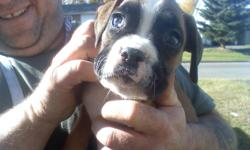 i have 3 fawn boxers for sale 2 males and one female call 250-963-9517or 640-7918 for information thanks