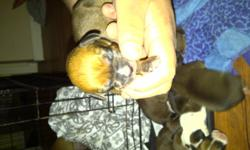 My little girl had a total of 10 pups! 5 boys and 5 girls! They will come dew claws and tails removed 1 set of shots and dewormed. The mother is a boxer shepherd cross and the father was a boxer. They were born just yesterday so they will not be ready to