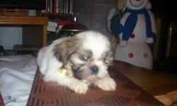 Boy shih tzu puppy and two girls ready to go with shots checked by vet very healthy no worms, fleas they are all so cute and very freindly.