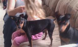 """""""Prince and Princess"""" Pure breeding pair /all shots up to date Female is 1 yrs old Male is 1.5 yrs old both are (Black 'N' Tan)   Male is a mini pin version  very tiny  female is a small min pin The pups are from their first litter and are gone but the"""