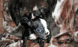beautiful bostons ,good for all family and lifestyles, light shedders dad is a 23 lb sable red akc reg ,champion son american boy mom is a 18 lb aca reg, black and white. puppies will have; 2 dewormings vet check   toy training dvd 6 weeks health