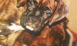 We had a littler of 7 Boxer Puppies, Brindle and Fawns. They are all in good health and gone to good homes .  Father is a US Brindle Pure Boxer and Mother is also a pure Boxer.  Mother and father are both raised around Kids and very Friendly.  Boxers are