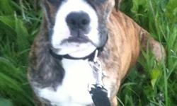 Beautiful brindle Bull-Boxer (valley bull line and pure bred boxer line) needs a great forever home. She is spayed, and is up to date on all of her needles (inc rabies vaccine). She is micro-chipped and has had additional non-essential shots, including