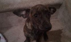 I have one little girl left from a batch of 6 puppies. She is a brindle chiweenie (mostly dashchund and little chihuahua).  She has been home raised with kids and other dogs.She is very well behaved, loves to cuddle, great with kids (I have a 4 and 6 year