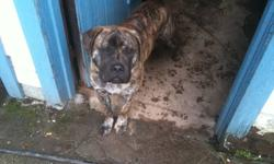 I have a puppy that is a little over 4 and a half months old, and is a gentle growing giant. He has a calm demeanor, very friendly with other people and social with other dogs. He has all of his vaccinations done and has been dewormed and checked by the
