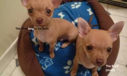 Hello there! We have 2 Chihuahua puppies for sale! 1 Male and One Female All four are SHORT HAIRED I'll just be asking for the price of $300 for each puppy. Please contact me by my E-mail address OR call me at 204-391-1336 (After 4:30 P.M. please and