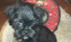 8 Week Old Brussel Griffon Puppies for sale 2 black females, Up to date on all shots, and de wormed $700