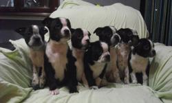 BOSTON X PUG PUPPIES Beautiful Boston Terrier / Pug puppies Mother is a purebred Pug Father is a purebred Boston Terrier   4 Males and 3 Females available Gentle natured, fun loving puppies Vet health checked, 1st shots, and de-wormed Ready for their