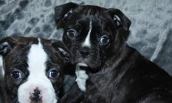 PUPPIES WILL BE READY SOON ! THIS WEEKEND REDY!! THE PUPPIES ARE 1/4 PUG (MON IS PUG BOSTON TERRIER ) DAD IS FULL BOSTON TERRIER .. NEEDLED AND DEWORMED ,, NEW PICTURES TAKEN TODAY !!! NOW TAKING DEPOSITS of 50$ TO RESERVE .. 1 BROWN BRINDLE AND WHITE
