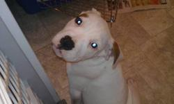 12 weeks old female american bull dog /american boxer for sale to loving home had her frist shots and has been dewormed can view father and her at the same time.