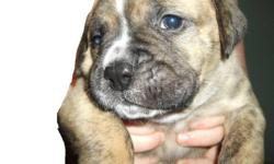 3 bullmastiff-vallybull cross puppys for sale. ready for jan 2, 600 dollers, first needles given. e mail angie for more details.