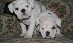 We have 4 bulldog puppies ready to go to there new homes on Dec 09. 1 male and 3 females, from a litter of 7. They are from champion lines, both parents are champions. All puppies will be CKC registered and will come with a health guarantee. Both parents